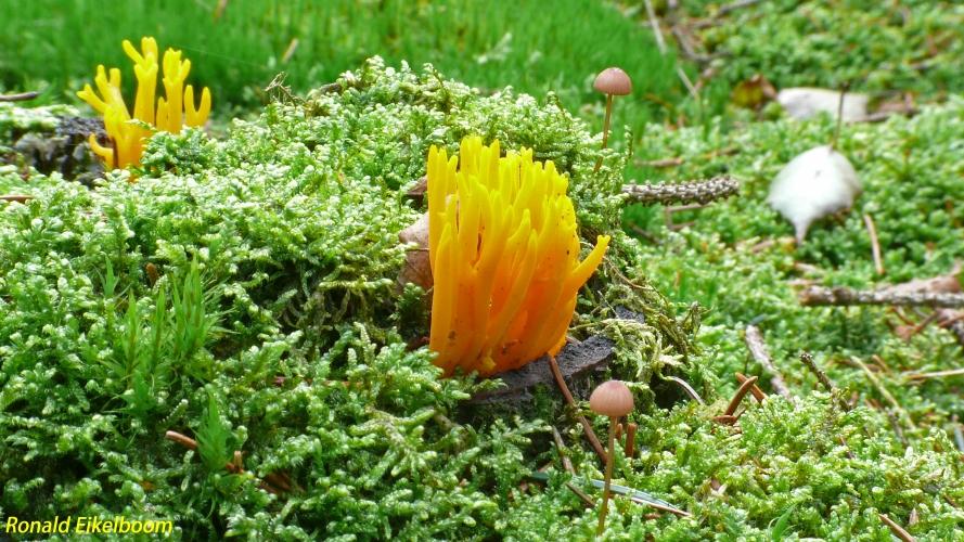 calocera-kleverig koraalzwammetje