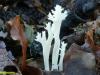 clavulina-rimpelige koraal zwam