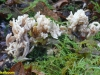 clavulina-witte koraal zwam