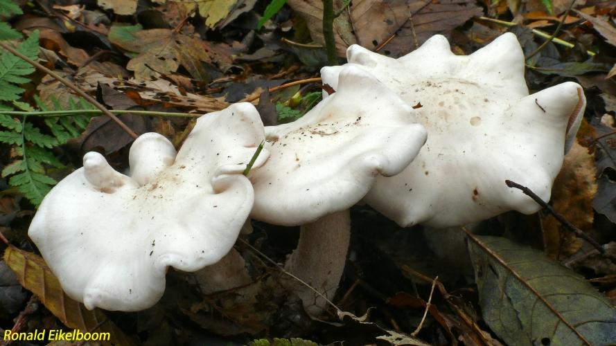 tricholoma-witte ridderzwam
